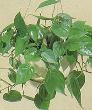 Hanging green plant