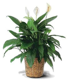 Easy care green plant