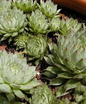 Hens and Chicks Garden
