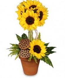 Stunning Topiary of Fresh Cut Sunflowers